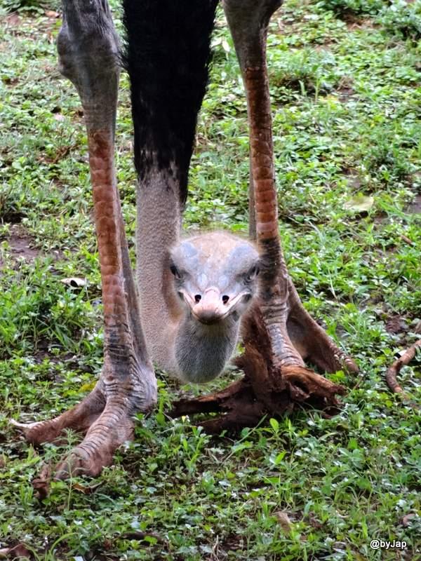 autruche-nairobi